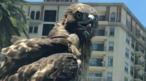 Raptor tags along for free ride on California car, caught on video