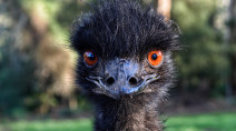 Giant emu recovering after escaping police, blocking morning traffic