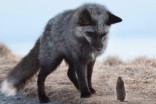 NL photographer gets shot of a lifetime with Signal Hill fox