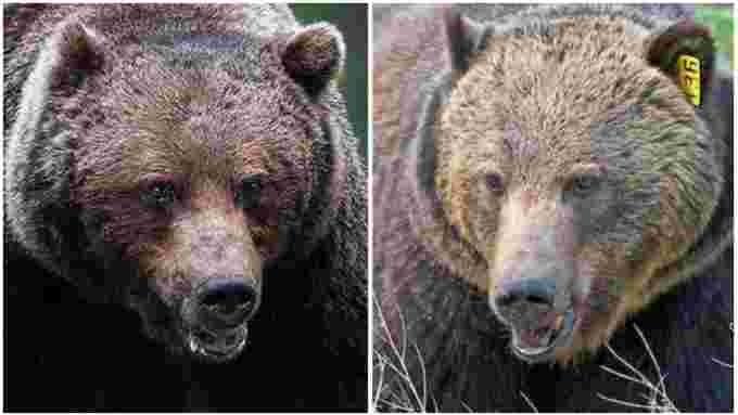 CBC: These two male grizzlies in Banff National Park — the Boss, left, and Split Lip — are likely the largest in Alberta. The Boss is believed to weigh about 600 pounds, said biologist Sarah Elmeligi. (John E. Marriott/Amar Athwal)