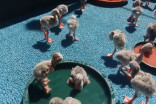Abandoned flamingo chicks rescued from drought
