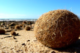 Seagrass 'Neptune balls' trap millions of plastics from the ocean, study finds