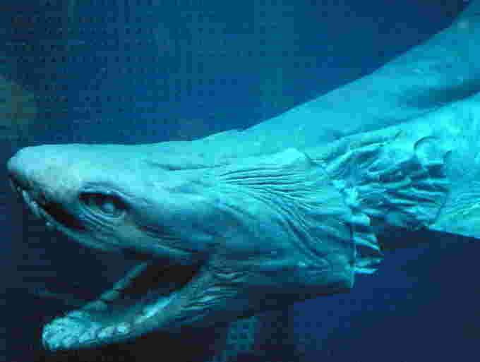 Frilled shark close Open Cage Wikipedia