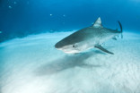 Surprising study says tiger sharks eat backyard birds