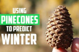 Can pine cones actually predict how harsh winter will be?