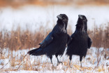 Ravens' bad moods might be contagious