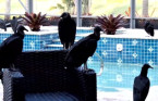 Vomiting vultures invade $700K Florida vacation home