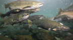'Near historic low': Atlantic salmon returns plunged in 2019