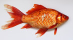 Officials remind public not to release goldfish into public waterways