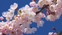 Vancouver Cherry Blossom Festival goes online as COVID-19 forces people indoors