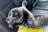 Surly seal spotted on P.E.I. sidewalk apprehended by police