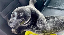 Seal struts its stuff down sidewalk and is NO mood to mingle