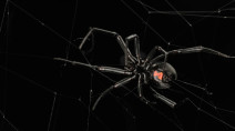 Beautiful, yet dangerous, black widow calls parts of Canada home