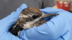Driven outdoors by the pandemic, Quebecers rescue birds in record numbers