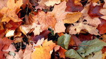 DRIVERS BEWARE: Brightly-coloured leaves mask dangerous threat