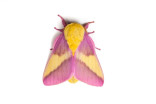 Photos: Meet the 'internet famous' rosy maple moth