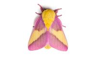 'Strawberry banana' moth becomes internet famous for obvious reasons