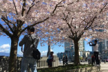 Vancouver watches effect of climate change on cherry trees