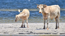 'Cow castaways' found safe after being swept out to sea by Dorian