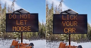 Moose beware: Don't lick cars, you've been warned