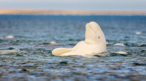 Researchers find microplastics in every beluga whale they tested