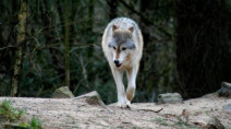 Large increase in wolf sightings in Prince Rupert elicits warning from agency