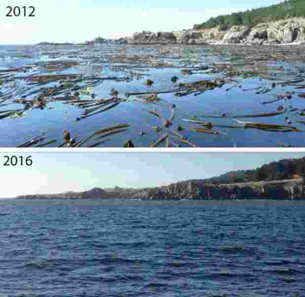 kelp before and after