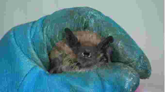 A bat colony made up of mostly males was found hibernating in a curling rink in Unity, Sask. They are currently being cared for at Living Sky Wildlife Rehabilitation in Saskatoon. (Don Somers/CBC)