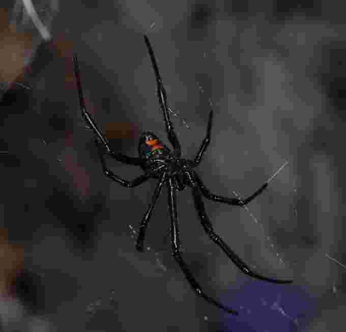 WIKIPEDIA - black widow