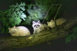 1 in 750K chance: Ont. Man snaps photo of 2 albino raccoons