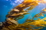 "Scientists use gravel to help regrow kelp forests after ""The Blob"""