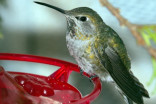 BC hummingbirds struggling as feeders freeze up