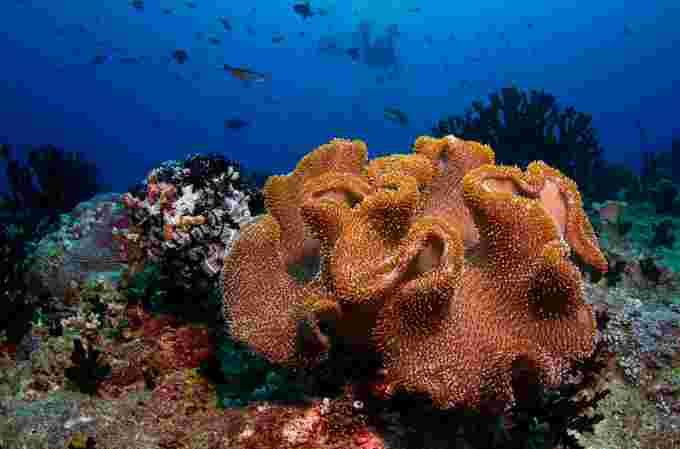 Maldives coral wiki cc
