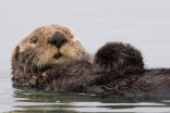 5 facts (and photos) about sea otters