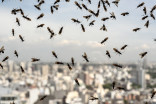 Flying ant season has the Lower Mainland buzzing