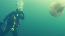 Divers run into human-sized jellyfish. Spectacular video, here