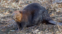 RCMP won't charge beavers for theft of wood posts