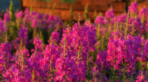 Fire to flower: Fireweed provides symbol of hope to frontline workers
