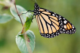 How 2 monarch butterflies emerged from their chrysalis during Dorian