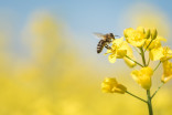 Planning a spring garden? Here are city bees' fave flowers