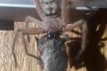 Man returns to ski lodge, finds massive spider eating a possum