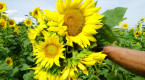 Man opens S. Ont. farm to sunflower-seekers