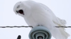 VIDEO: What did this snowy owl eat? Our reporter finds out