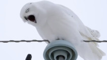 What did this snowy owl eat? Our reporter finds out