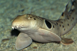 Baby sharks becoming more exhausted, smaller due to climate change