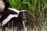 How to get rid of skunk smells, according to chemists