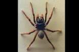 Australians warned of increase in highly-venomous spiders following flash floods