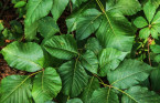 Painful, itchy, blistering rash: What you need to know about poison ivy