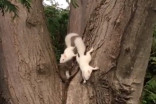 Video: Young white squirrels spotted playing in a tree