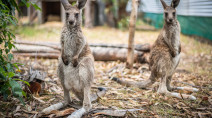 Nearly 3 billion animals affected by Australian bushfires, report finds